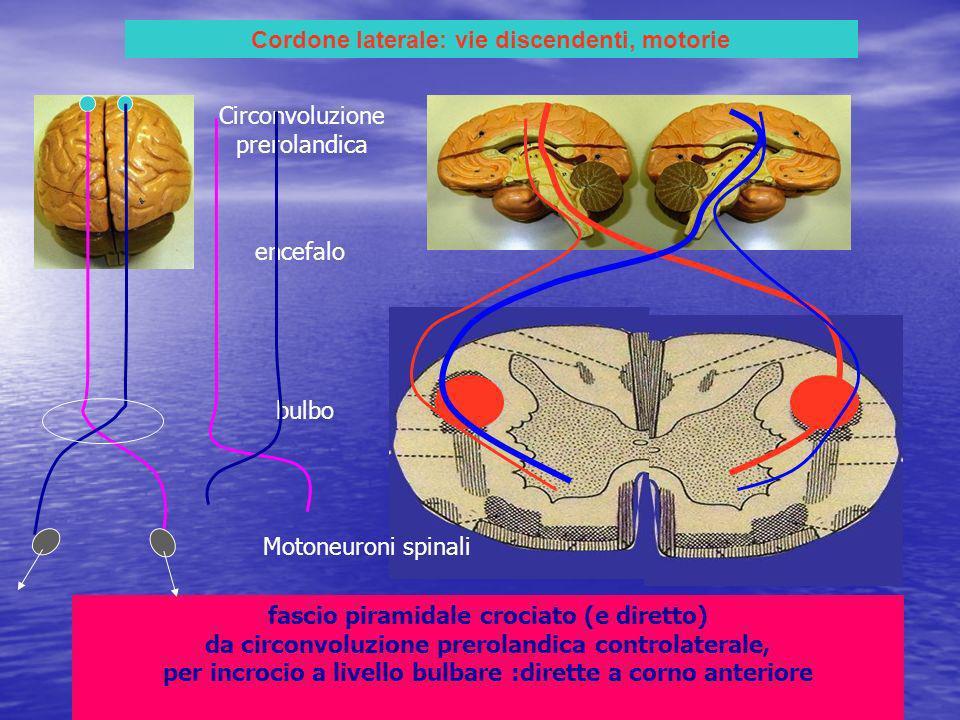 Cordone laterale: vie discendenti, motorie fascio piramidale crociato (e diretto) da circonvoluzione prerolandica controlaterale, per incrocio a livello bulbare :dirette a corno anteriore Circonvoluzione prerolandica encefalo bulbo Motoneuroni spinali