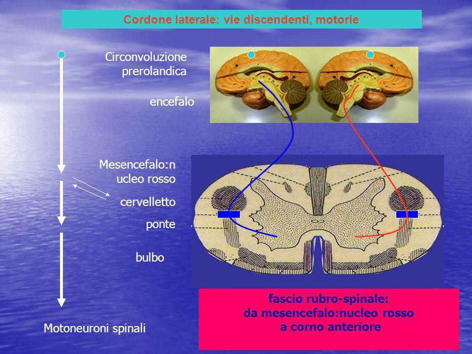 Cordone laterale: vie discendenti, motorie fascio rubro-spinale: da mesencefalo:nucleo rosso a corno anteriore encefalo Circonvoluzione prerolandica Mesencefalo:n ucleo rosso ponte bulbo Motoneuroni spinali cervelletto