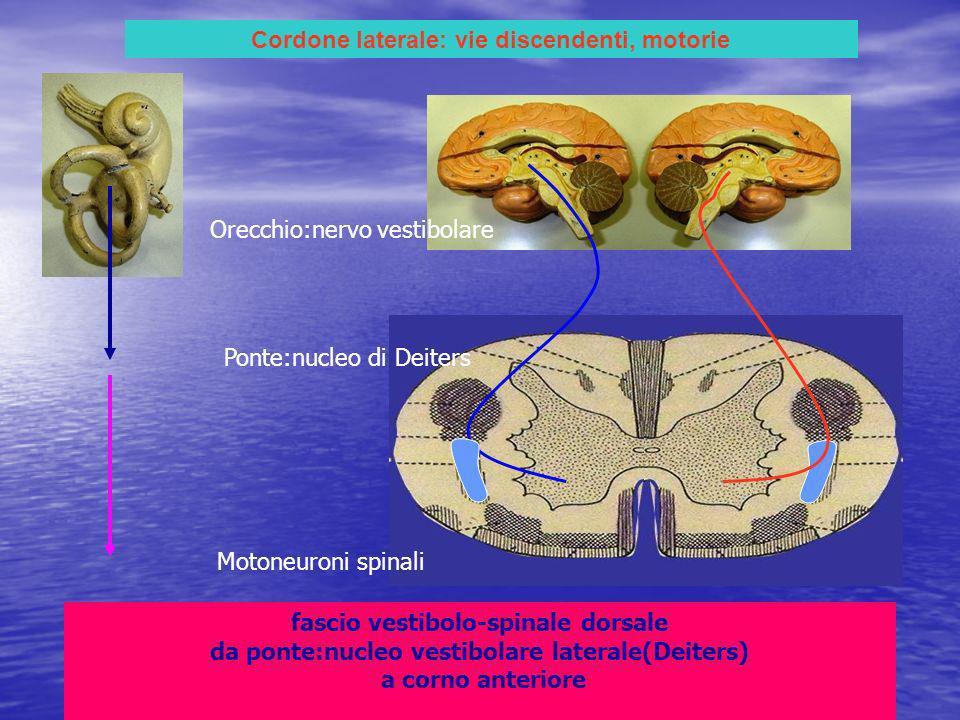 Cordone laterale: vie discendenti, motorie fascio vestibolo-spinale dorsale da ponte:nucleo vestibolare laterale(Deiters) a corno anteriore Orecchio:nervo vestibolare Ponte:nucleo di Deiters Motoneuroni spinali