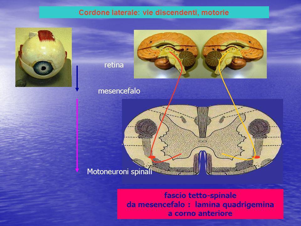 Cordone laterale: vie discendenti, motorie fascio tetto-spinale da mesencefalo : lamina quadrigemina a corno anteriore retina mesencefalo Motoneuroni spinali