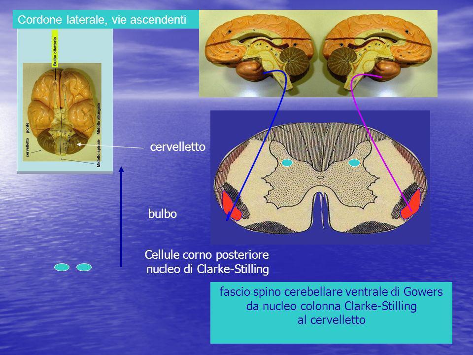 Cordone laterale, vie ascendenti fascio spino cerebellare ventrale di Gowers da nucleo colonna Clarke-Stilling al cervelletto cervelletto bulbo Cellule corno posteriore nucleo di Clarke-Stilling
