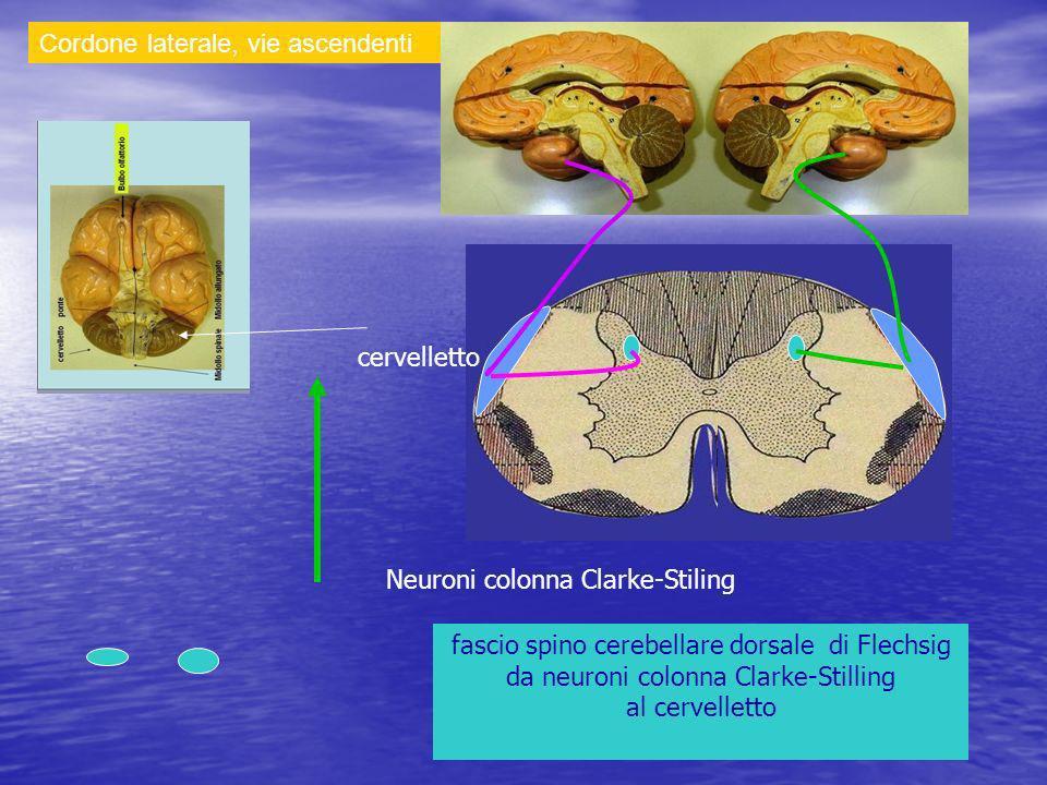 Cordone laterale, vie ascendenti fascio spino cerebellare dorsale di Flechsig da neuroni colonna Clarke-Stilling al cervelletto Neuroni colonna Clarke-Stiling cervelletto