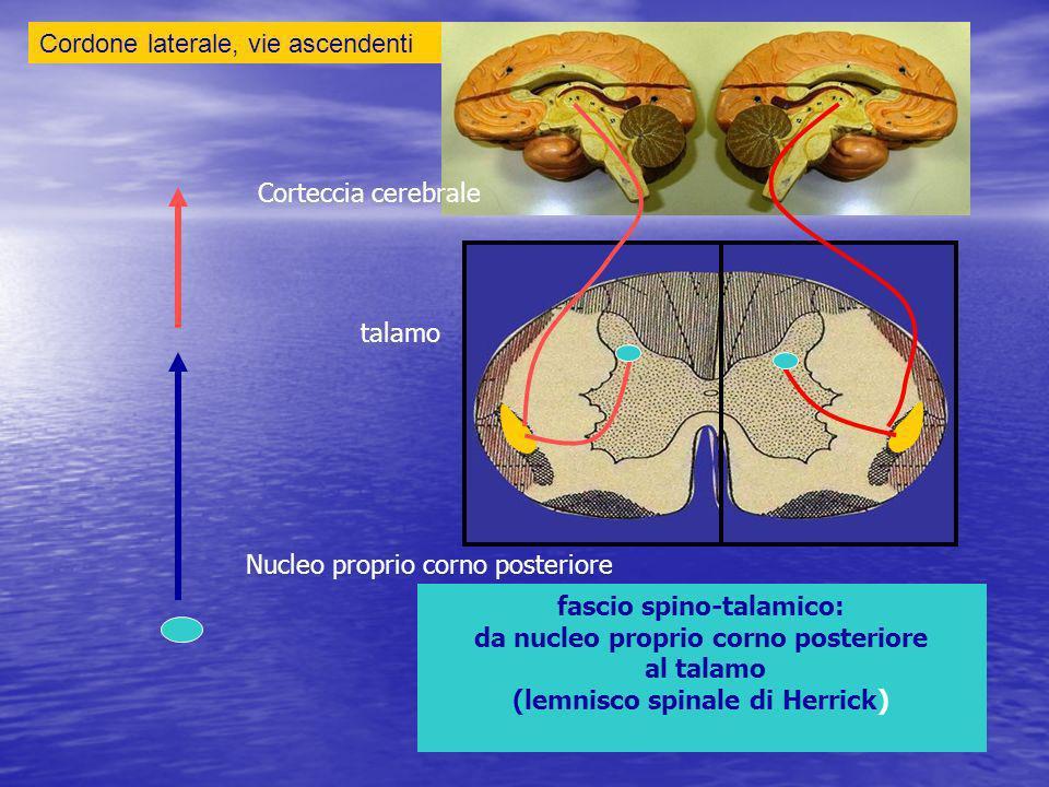 Cordone laterale, vie ascendenti fascio spino-talamico: da nucleo proprio corno posteriore al talamo (lemnisco spinale di Herrick) Nucleo proprio corno posteriore talamo Corteccia cerebrale