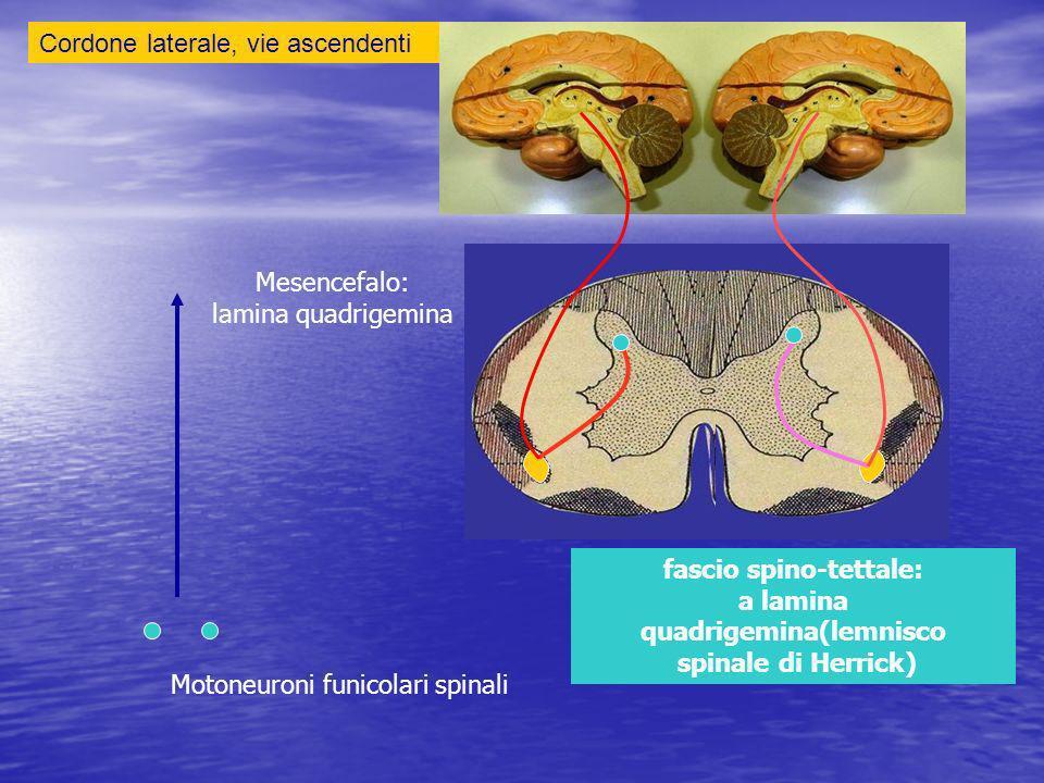 Cordone laterale, vie ascendenti fascio spino-tettale: a lamina quadrigemina(lemnisco spinale di Herrick) Mesencefalo: lamina quadrigemina Motoneuroni funicolari spinali