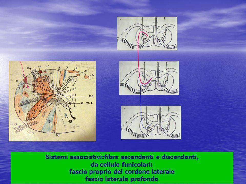 Sistemi associativi:fibre ascendenti e discendenti, da cellule funicolari: fascio proprio del cordone laterale fascio laterale profondo