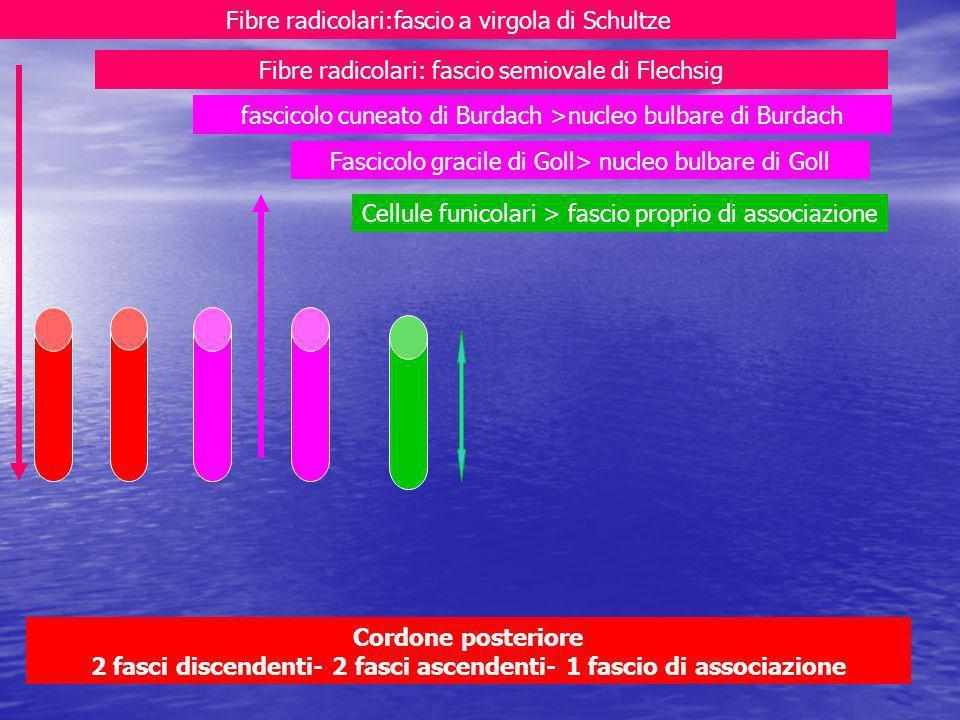 Cordone posteriore 2 fasci discendenti- 2 fasci ascendenti- 1 fascio di associazione Fascicolo gracile di Goll> nucleo bulbare di Goll fascicolo cuneato di Burdach >nucleo bulbare di Burdach Fibre radicolari: fascio semiovale di Flechsig Fibre radicolari:fascio a virgola di Schultze Cellule funicolari > fascio proprio di associazione