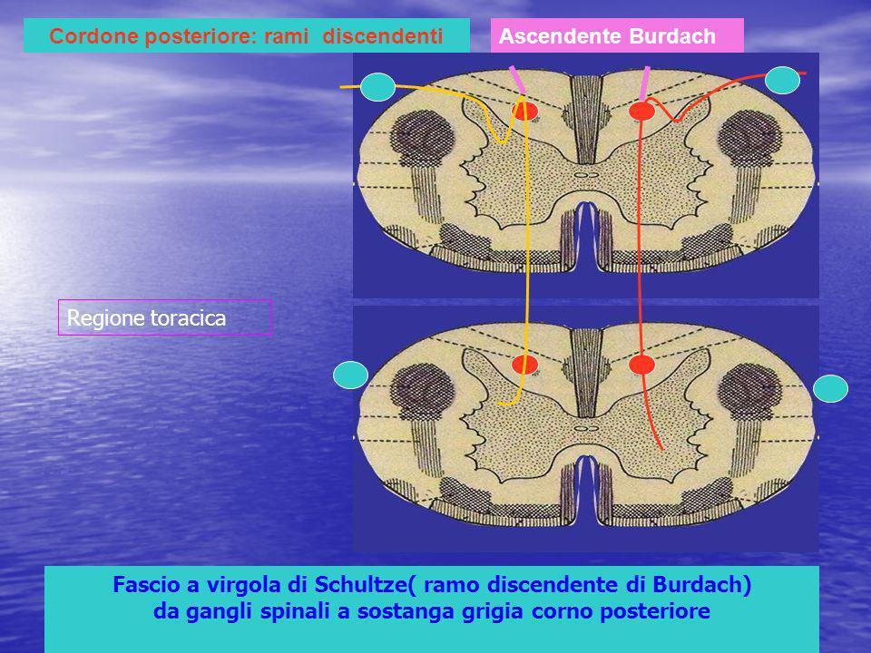 Cordone posteriore: rami discendenti Fascio a virgola di Schultze( ramo discendente di Burdach) da gangli spinali a sostanga grigia corno posteriore Ascendente Burdach Regione toracica