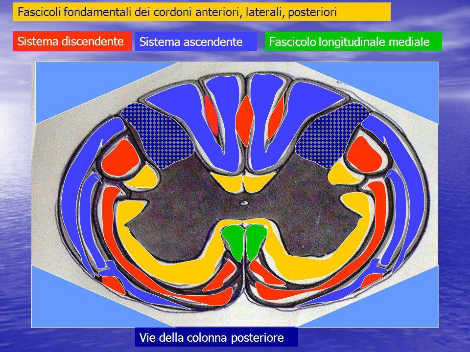 Fascicoli fondamentali dei cordoni anteriori, laterali, posteriori Sistema discendente Sistema ascendenteFascicolo longitudinale mediale Vie della colonna posteriore