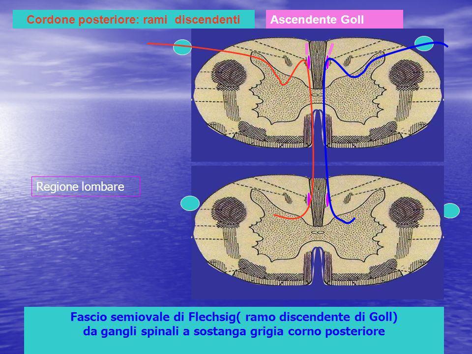 Cordone posteriore: rami discendentiAscendente Goll Fascio semiovale di Flechsig( ramo discendente di Goll) da gangli spinali a sostanga grigia corno posteriore Regione lombare