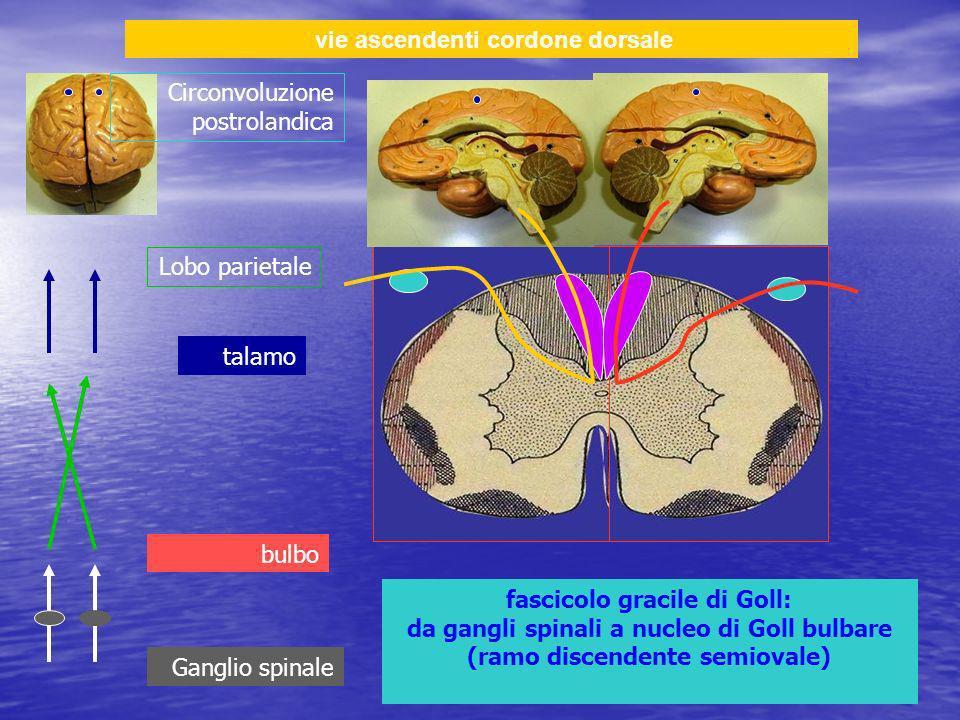 vie ascendenti cordone dorsale fascicolo gracile di Goll: da gangli spinali a nucleo di Goll bulbare (ramo discendente semiovale) Ganglio spinale talamo Lobo parietale Circonvoluzione postrolandica bulbo
