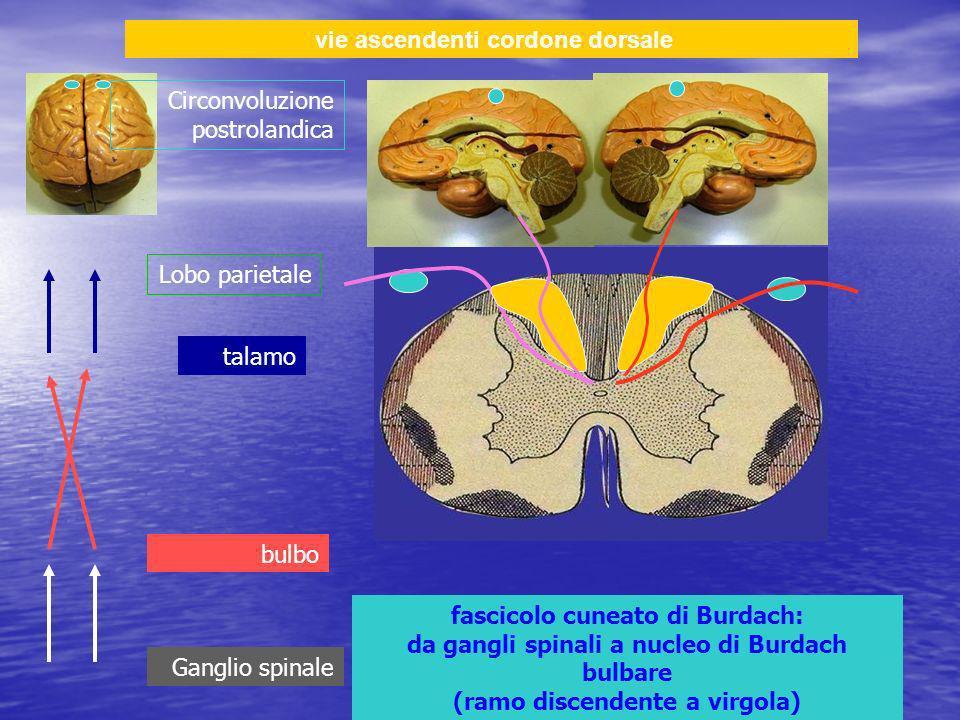vie ascendenti cordone dorsale fascicolo cuneato di Burdach: da gangli spinali a nucleo di Burdach bulbare (ramo discendente a virgola) Ganglio spinale bulbo talamo Lobo parietale Circonvoluzione postrolandica