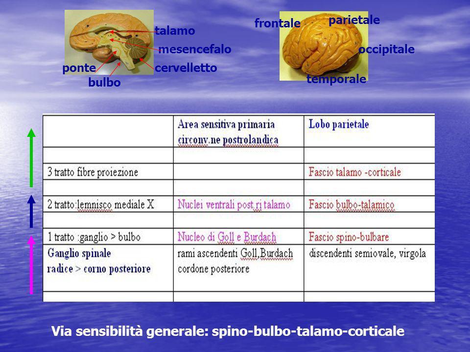 Via sensibilità generale: spino-bulbo-talamo-corticale frontale parietale temporale occipitale cervelletto bulbo ponte talamo mesencefalo