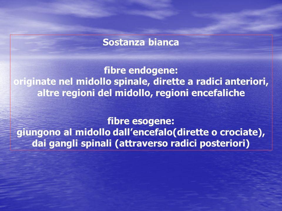 Sostanza bianca fibre endogene: originate nel midollo spinale, dirette a radici anteriori, altre regioni del midollo, regioni encefaliche fibre esogen