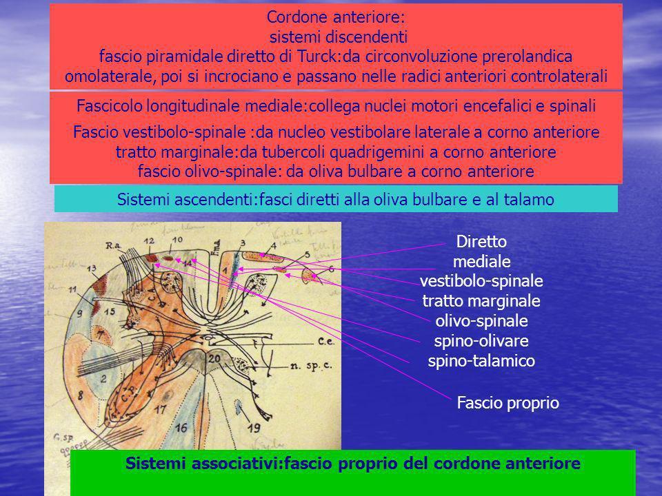 Cordone anteriore: sistemi discendenti fascio piramidale diretto di Turck:da circonvoluzione prerolandica omolaterale, poi si incrociano e passano nelle radici anteriori controlaterali Fascicolo longitudinale mediale:collega nuclei motori encefalici e spinali Fascio vestibolo-spinale :da nucleo vestibolare laterale a corno anteriore tratto marginale:da tubercoli quadrigemini a corno anteriore fascio olivo-spinale: da oliva bulbare a corno anteriore Sistemi ascendenti:fasci diretti alla oliva bulbare e al talamo Diretto mediale vestibolo-spinale tratto marginale olivo-spinale spino-olivare spino-talamico Sistemi associativi:fascio proprio del cordone anteriore Fascio proprio