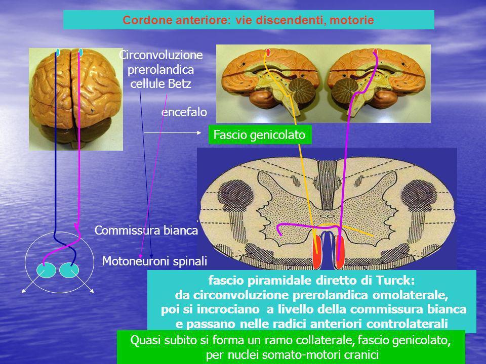 Cordone anteriore: vie discendenti, motorie fascio piramidale diretto di Turck: da circonvoluzione prerolandica omolaterale, poi si incrociano a livello della commissura bianca e passano nelle radici anteriori controlaterali Motoneuroni spinali Circonvoluzione prerolandica cellule Betz encefalo Commissura bianca Quasi subito si forma un ramo collaterale, fascio genicolato, per nuclei somato-motori cranici Fascio genicolato