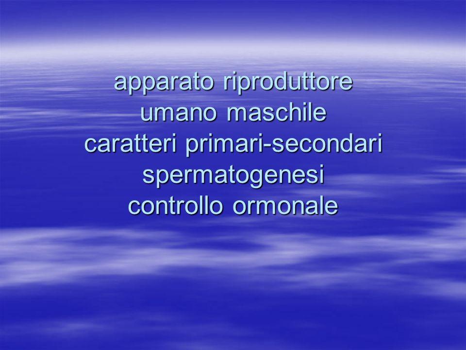 apparato riproduttore umano maschile caratteri primari-secondari spermatogenesi controllo ormonale