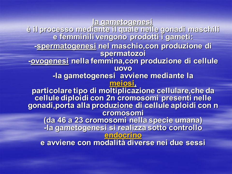 la gametogenesi è il processo mediante il quale nelle gonadi maschili e femminili vengono prodotti i gameti: la gametogenesi è il processo mediante il