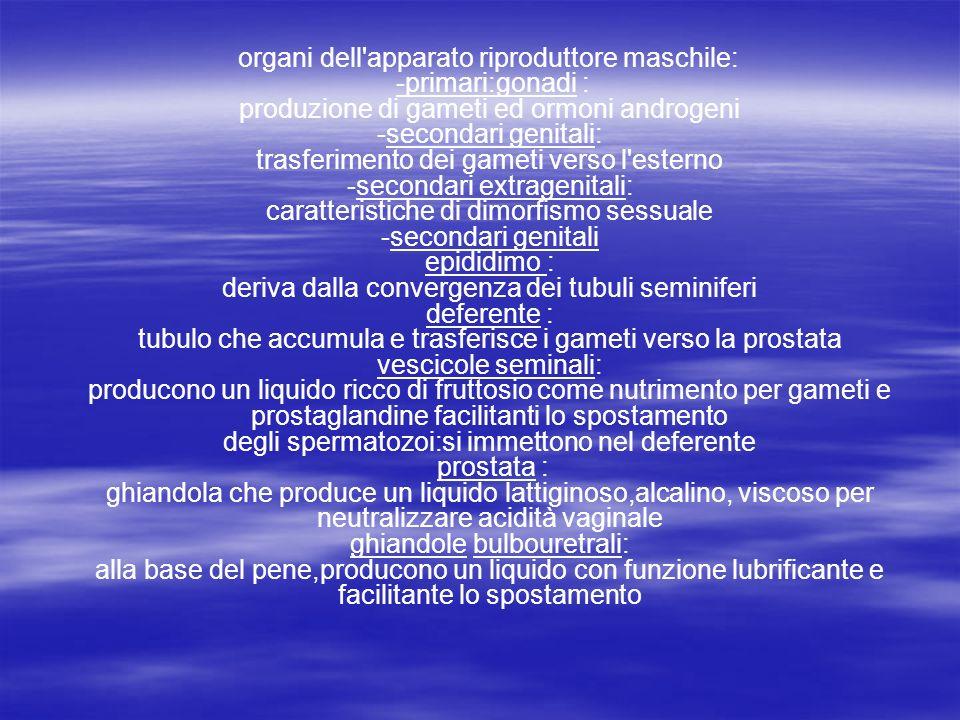 organi dell'apparato riproduttore maschile: -primari:gonadi : produzione di gameti ed ormoni androgeni -secondari genitali: trasferimento dei gameti v