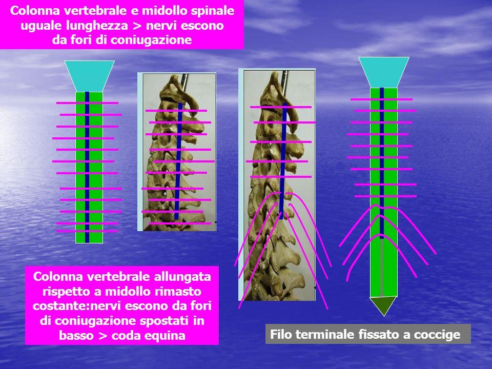 Colonna vertebrale e midollo spinale uguale lunghezza > nervi escono da fori di coniugazione Colonna vertebrale allungata rispetto a midollo rimasto c