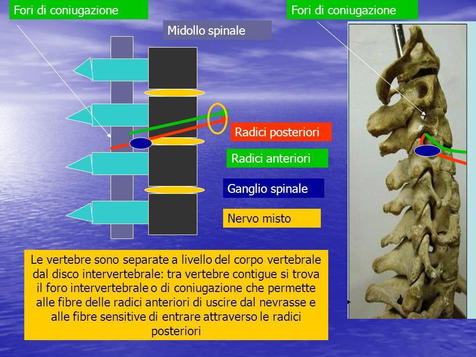 Le vertebre sono separate a livello del corpo vertebrale dal disco intervertebrale: tra vertebre contigue si trova il foro intervertebrale o di coniug