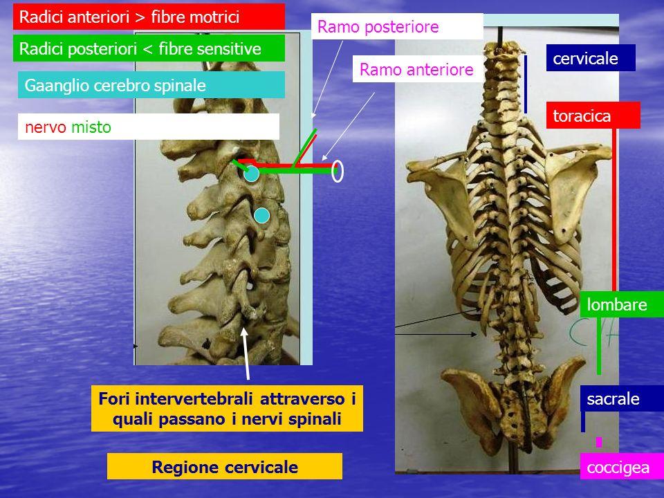 Fori intervertebrali attraverso i quali passano i nervi spinali Regione cervicale cervicale toracica lombare sacrale coccigea Radici anteriori > fibre