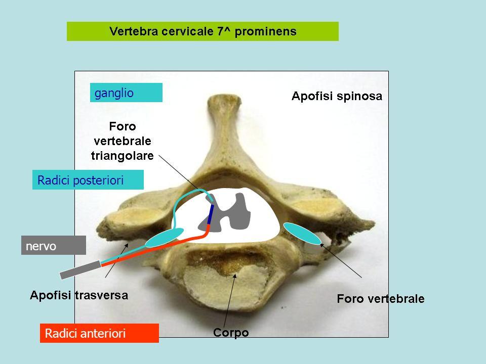 nervo Radici anteriori Radici posteriori ganglio