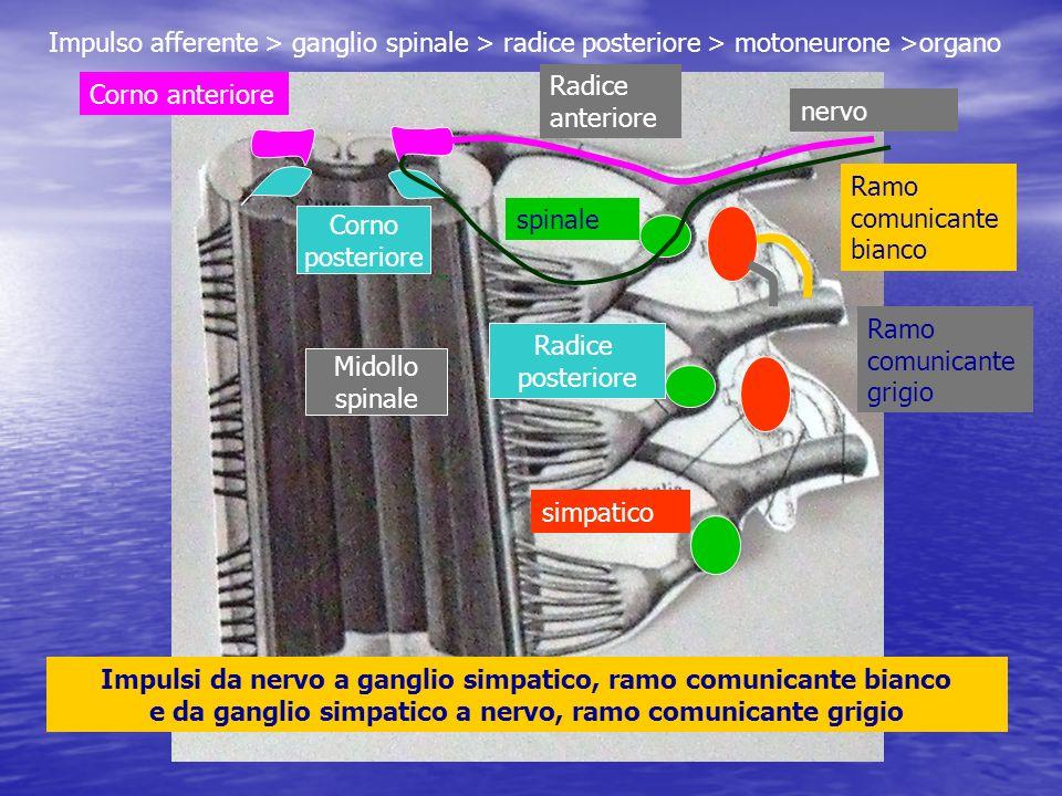 spinale simpatico Radice posteriore Radice anteriore Corno posteriore Ramo comunicante bianco Ramo comunicante grigio nervo Midollo spinale Corno ante