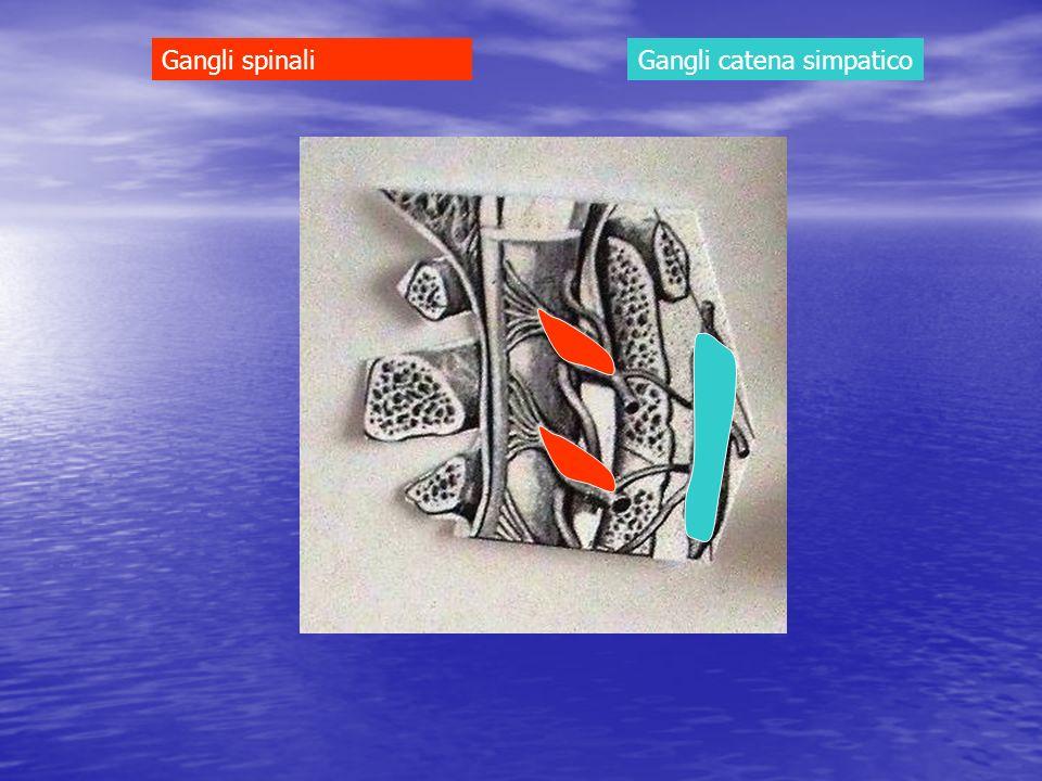Gangli catena simpaticoGangli spinali