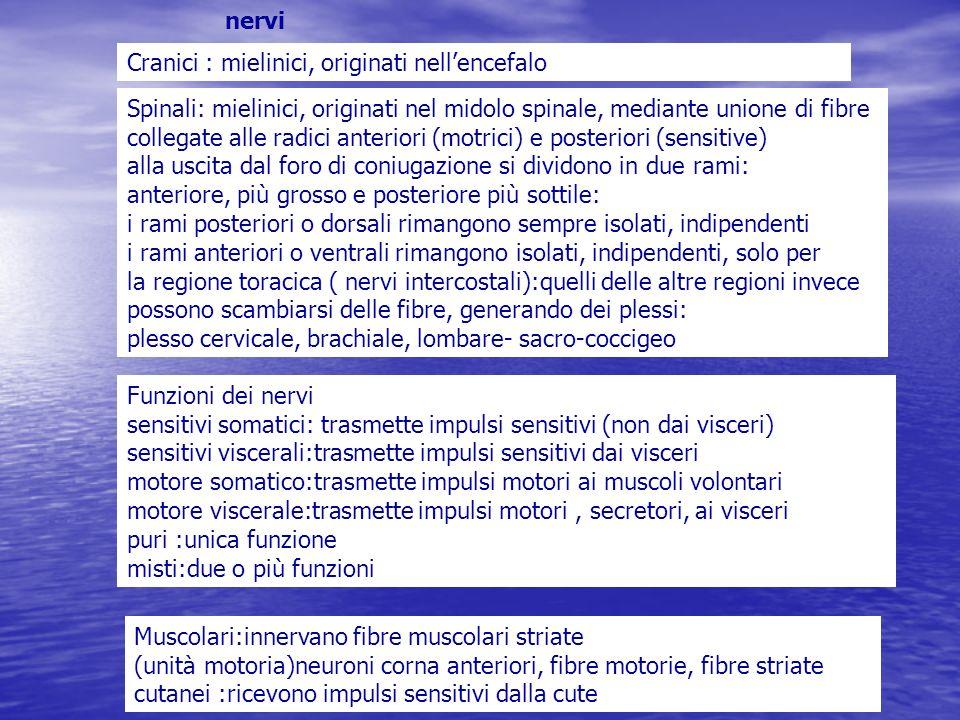 nervi Cranici : mielinici, originati nellencefalo Spinali: mielinici, originati nel midolo spinale, mediante unione di fibre collegate alle radici ant