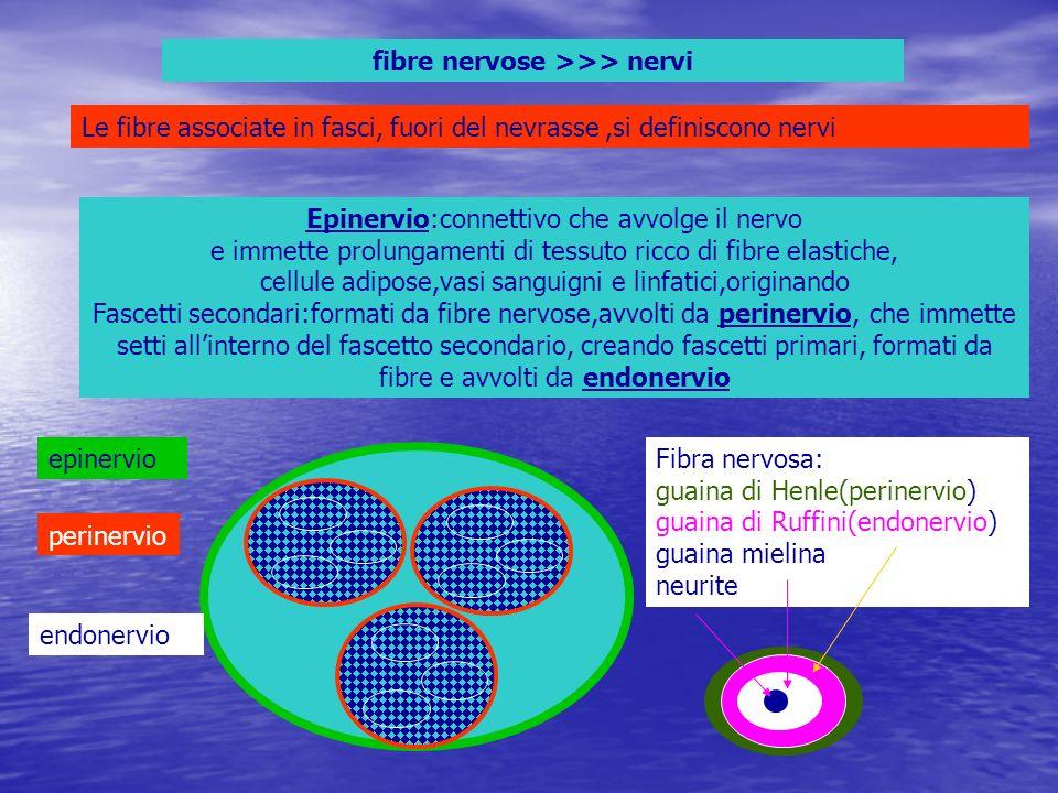 fibre nervose >>> nervi Le fibre associate in fasci, fuori del nevrasse,si definiscono nervi Epinervio:connettivo che avvolge il nervo e immette prolu