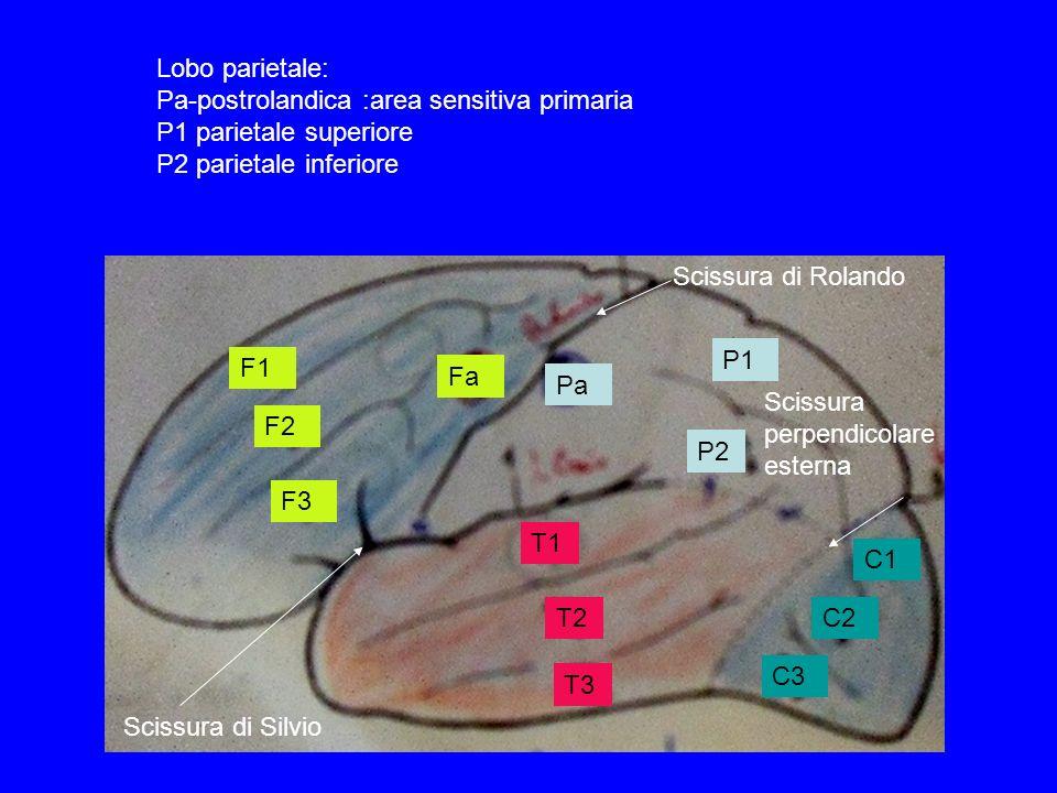 F1 F2 F3 Fa Pa P1 P2 T1 T2 T3 C1 C2 C3 Scissura di Rolando Scissura di Silvio Scissura perpendicolare esterna Lobo parietale: Pa-postrolandica :area s