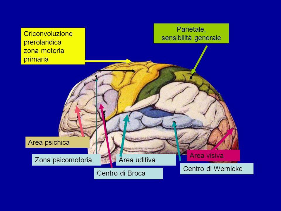 Parietale, sensibilità generale Criconvoluzione prerolandica zona motoria primaria Zona psicomotoria Centro di Broca Area uditiva Centro di Wernicke A