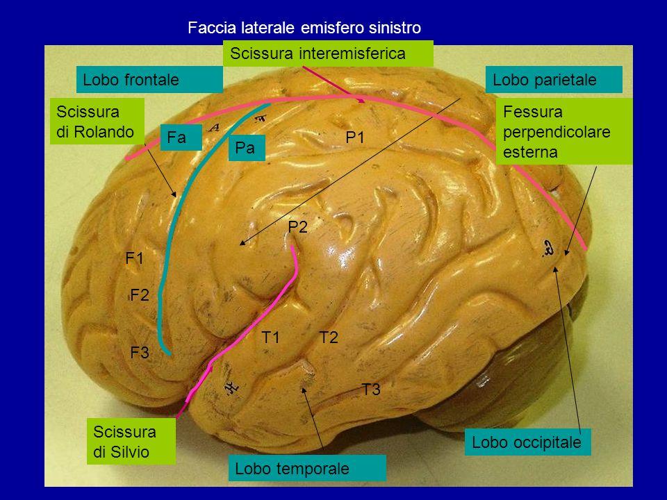 Faccia laterale emisfero sinistro Lobo frontaleLobo parietale Lobo temporale Lobo occipitale Scissura di Silvio Scissura di Rolando T1T2 T3 Scissura i