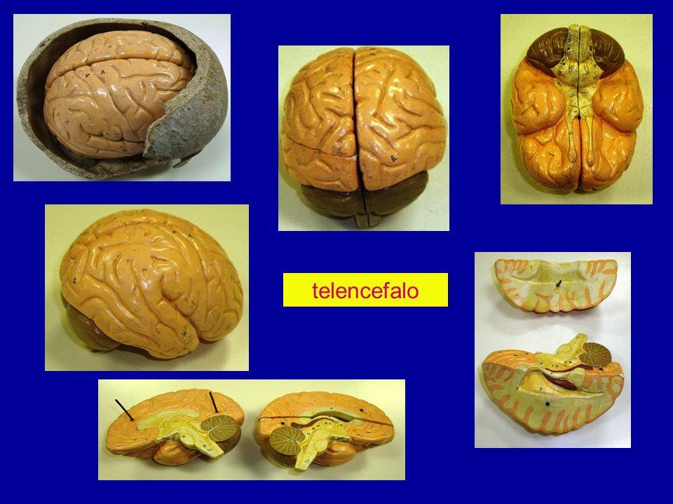 Due emisferi cerebrali, destro e sinistro fessura interemisferica > corpo calloso ogni emisfero presenta tre facce:laterale, mediale, inferiore tre margini : superiore, laterale, mediale tre poli: frontale, occipitale, temporale solchi primari o scissure delimitano i lobi Lobi:frontale, parietali, temporali, occipitale, limbico, insula solchi secondari: delimitano le circonvoluzioni scissure: Silvio(laterale):delimita :frontale, parietale, temporale Rolando(centrale):delimita:frontale, parietali limbica calcarina (interna a occipitale) perpendicolare esterna (occipito-temporale) perpendicolare interna Faccia laterale emisferi cerebrali