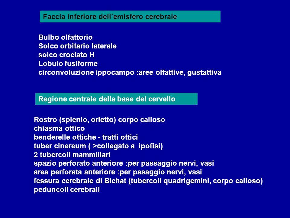 Regione centrale della base del cervello Bulbo olfattorio Solco orbitario laterale solco crociato H Lobulo fusiforme circonvoluzione ippocampo :aree o