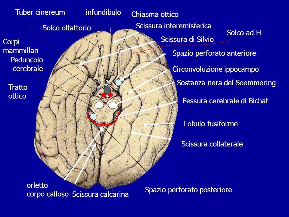 Scissura interemisferica Scissura di Silvio Spazio perforato anteriore Circonvoluzione ippocampo Sostanza nera del Soemmering Fessura cerebrale di Bic