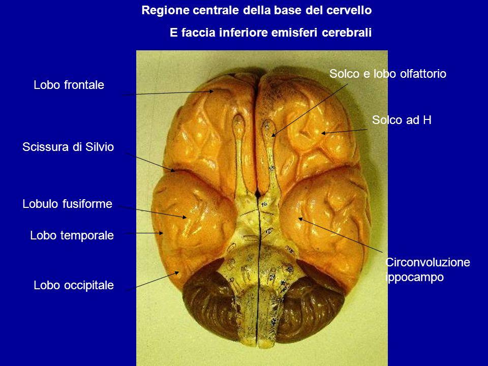 Regione centrale della base del cervello E faccia inferiore emisferi cerebrali Lobo frontale Scissura di Silvio Lobo temporale Lobo occipitale Solco e
