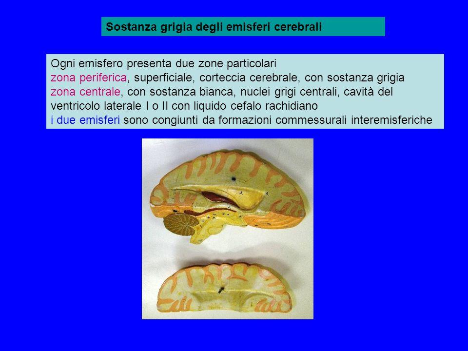 Sostanza grigia degli emisferi cerebrali Ogni emisfero presenta due zone particolari zona periferica, superficiale, corteccia cerebrale, con sostanza