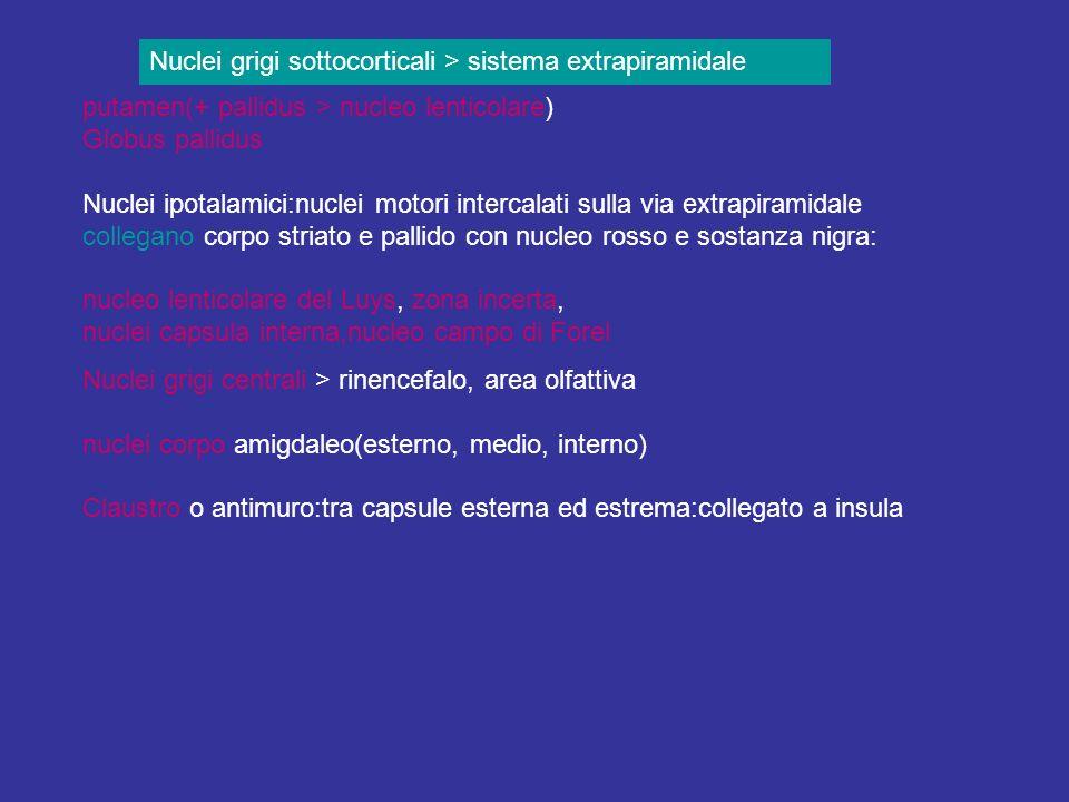 Nuclei grigi sottocorticali > sistema extrapiramidale putamen(+ pallidus > nucleo lenticolare) Globus pallidus Nuclei ipotalamici:nuclei motori interc
