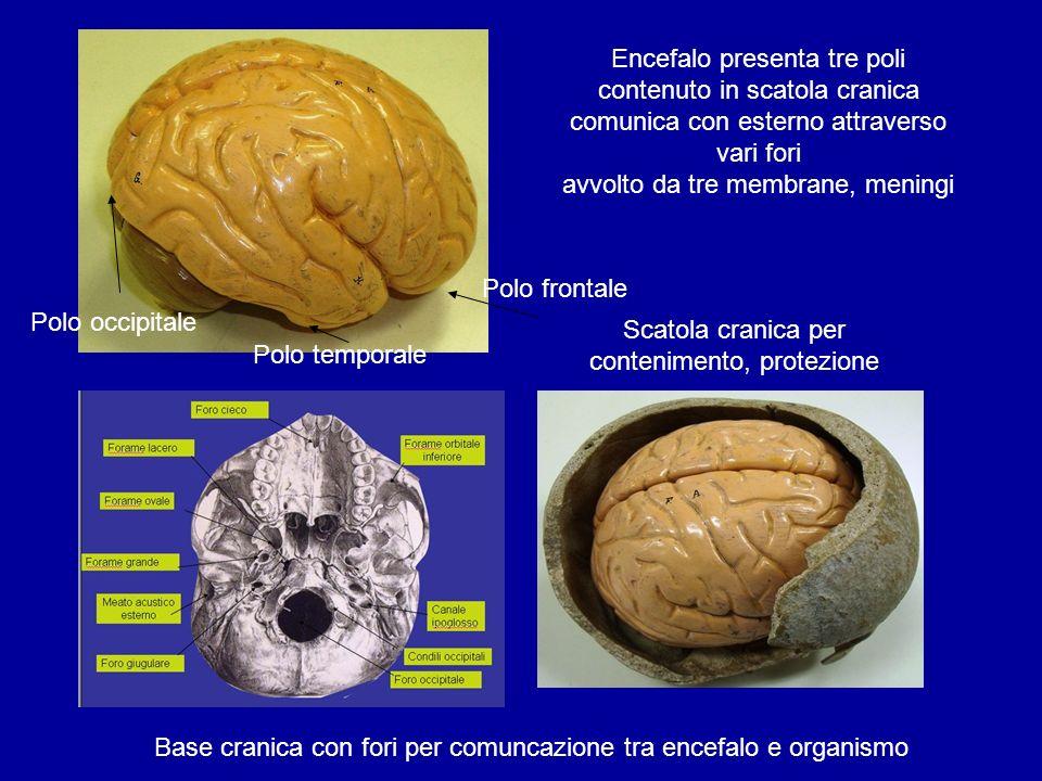 Polo frontale Polo occipitale Polo temporale Base cranica con fori per comuncazione tra encefalo e organismo Scatola cranica per contenimento, protezi