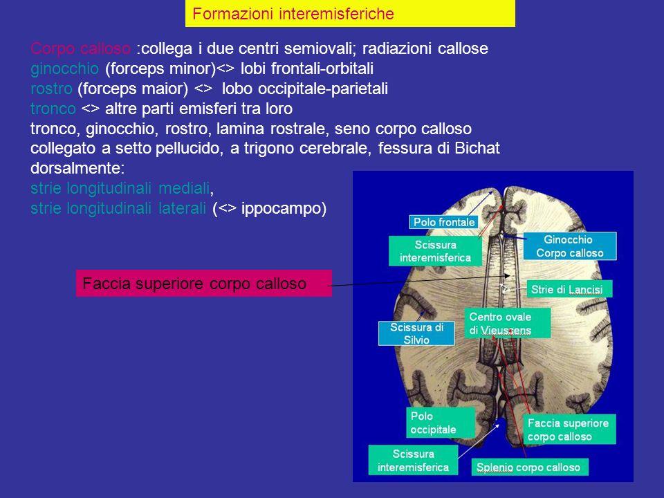 Corpo calloso :collega i due centri semiovali; radiazioni callose ginocchio (forceps minor)<> lobi frontali-orbitali rostro (forceps maior) <> lobo oc