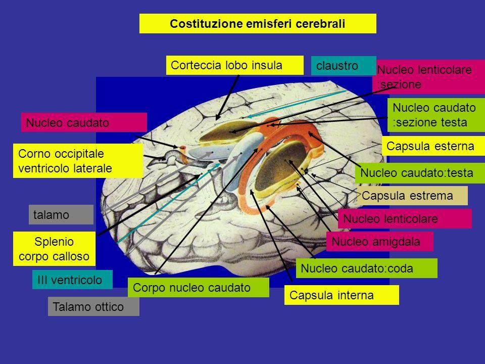 Costituzione emisferi cerebrali Corteccia lobo insula Nucleo caudato Corno occipitale ventricolo laterale talamo Splenio corpo calloso III ventricolo