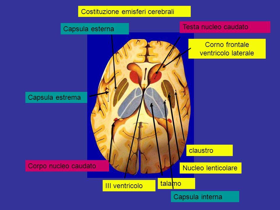 III ventricolo talamo Nucleo lenticolare Capsula interna claustro Corpo nucleo caudato Capsula esterna Testa nucleo caudato Corno frontale ventricolo