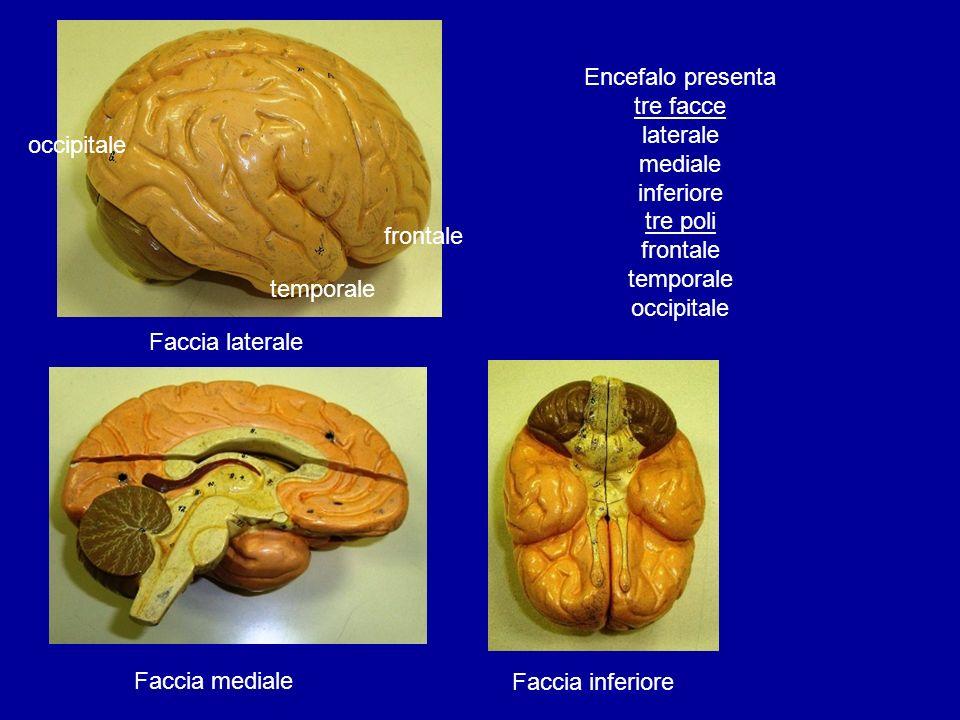 Faccia mediale Faccia inferiore Faccia laterale Encefalo presenta tre facce laterale mediale inferiore tre poli frontale temporale occipitale frontale