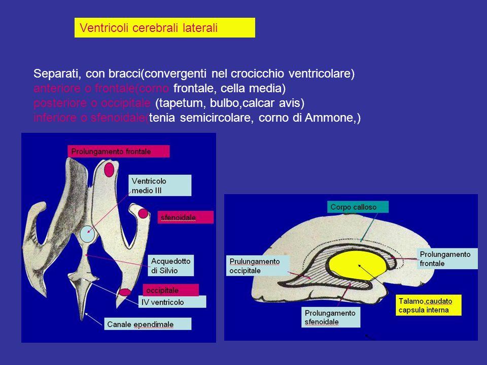 Ventricoli cerebrali laterali Separati, con bracci(convergenti nel crocicchio ventricolare) anteriore o frontale(corno frontale, cella media) posterio