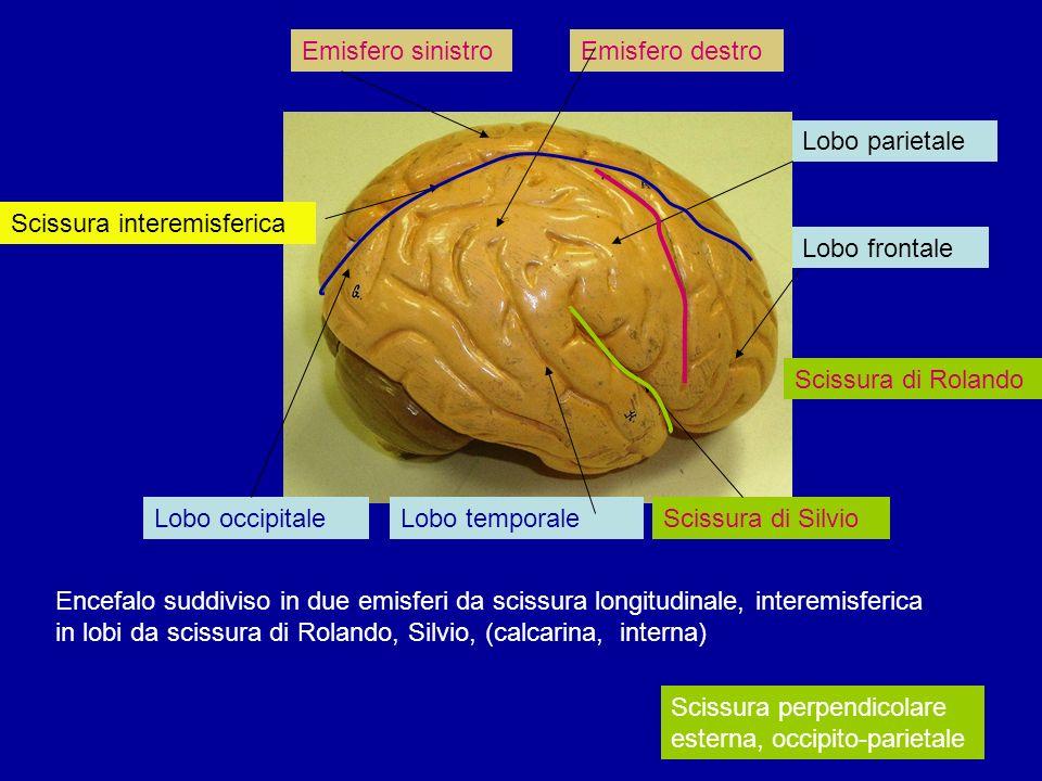 Lobo occipitaleLobo temporaleScissura di Silvio Encefalo suddiviso in due emisferi da scissura longitudinale, interemisferica in lobi da scissura di R