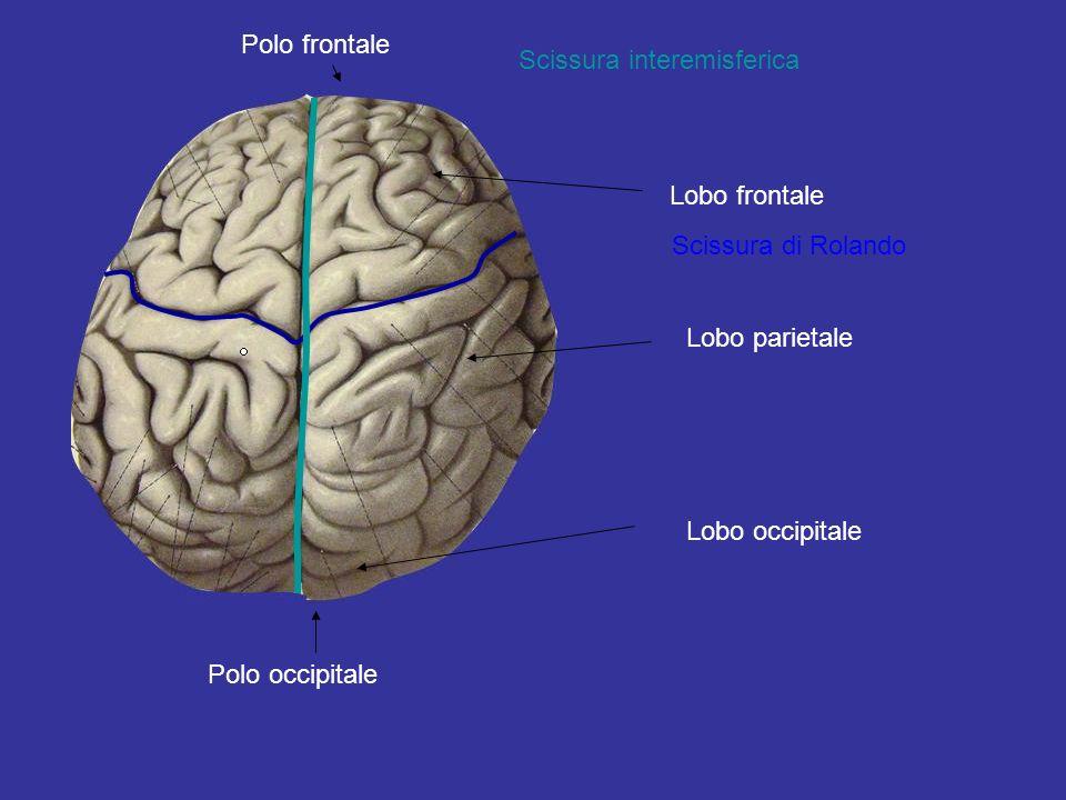 Polo occipitale Polo frontale Scissura interemisferica Scissura di Rolando Lobo frontale Lobo parietale Lobo occipitale