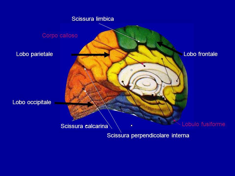 Lobo parietaleLobo frontale Scissura calcarina Scissura perpendicolare interna Scissura limbica Lobulo fusiforme Corpo calloso