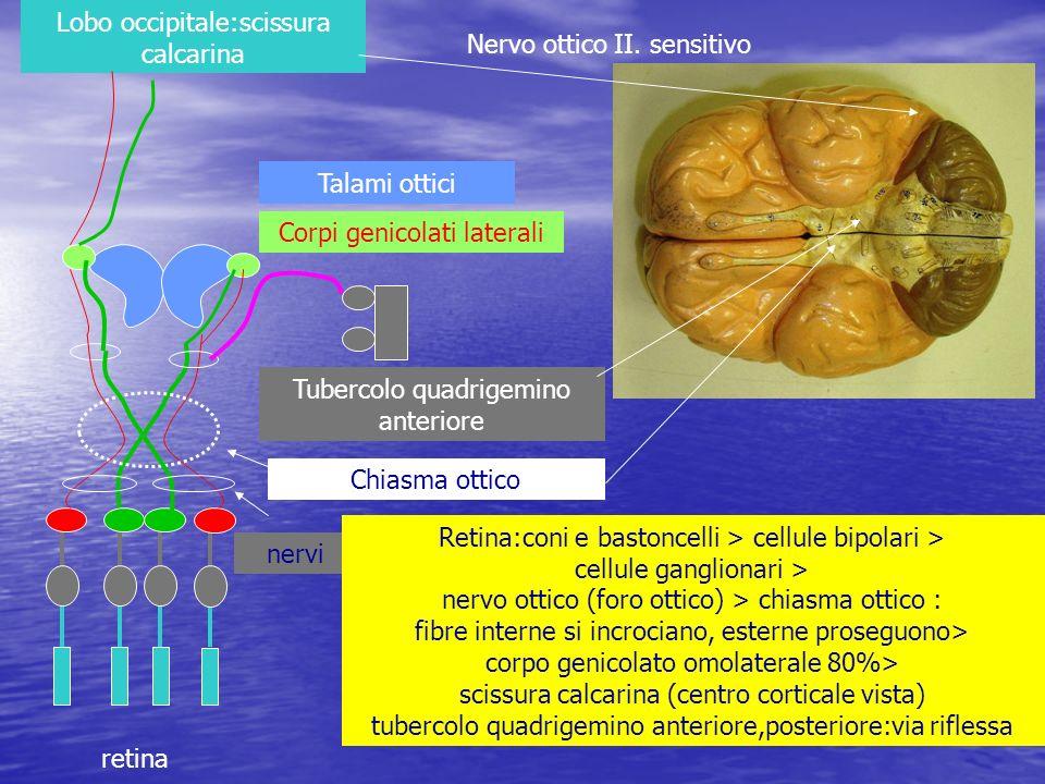nervi Nervo ottico II. sensitivo Retina:coni e bastoncelli > cellule bipolari > cellule ganglionari > nervo ottico (foro ottico) > chiasma ottico : fi