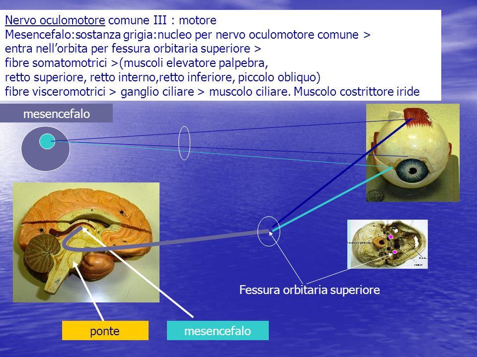 Nervo oculomotore comune III : motore Mesencefalo:sostanza grigia:nucleo per nervo oculomotore comune > entra nellorbita per fessura orbitaria superio